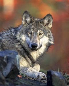 Emission radio, conte les loups